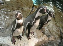 oceanografic pinguino