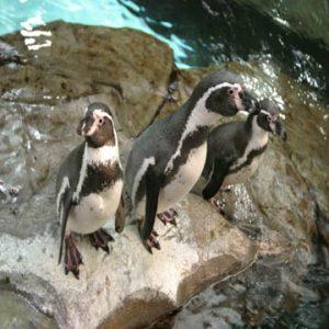 Oceanografic Valencia pinguino